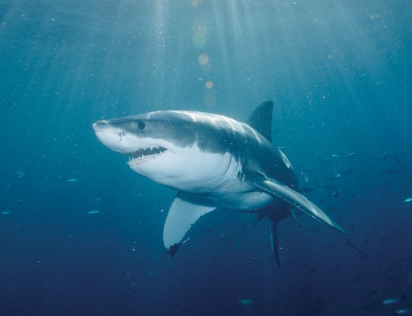 Is Global Warming Linked To  An Influx In Shark Attacks?