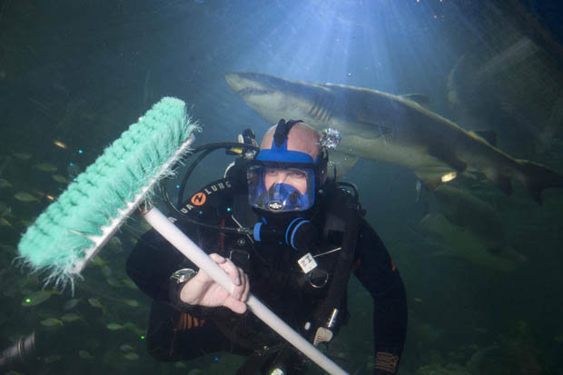 A brush with danger: Brave diver cleans fish tank with ten sharks for company