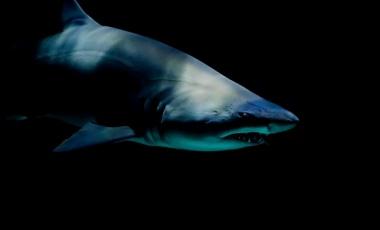 The Friendly Sand Tiger Shark